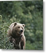 A Brown Bear Sow With Her Twin Cubs Metal Print by Tom Murphy