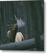 A Bull Elk Bugles, Emitting A Frosty Metal Print by Michael S. Quinton