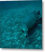 A California Sea Lion Swims Close Metal Print by Heather Perry