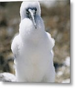 A Chick Blue Footed Booby Sits Metal Print by Gina Martin
