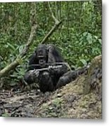 A Chimp At A Termite Mound Fishing Metal Print by Ian Nichols