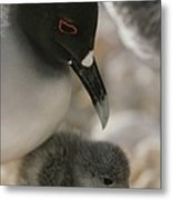 A Close View Of A Swallow Tailed Gull Metal Print by Michael Melford