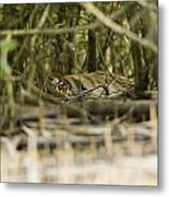 A Female Tiger Rests In The Undergrowth Metal Print by Tim Laman