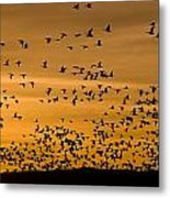 A Flock Of Snow Geese Chen Caerulescens Metal Print by Ralph Lee Hopkins