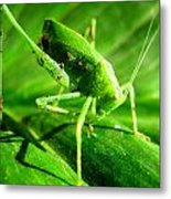 A Grasshopper Cleans Itself Metal Print by Catherine Natalia  Roche