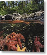 A Group Of Ochre Sea Stars Clustered Metal Print
