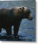 A Kodiak Brown Bear Hunts For Fish Metal Print by George F. Mobley