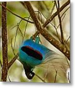 A Male Blue Bird Of Paradise Performing Metal Print by Tim Laman
