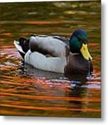 A Male Mallard Duck Drinking.  Fall Metal Print