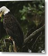 A Mature Bald Eagle Is Perched Atop Metal Print by Raymond Gehman