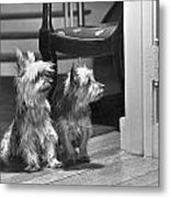 A Pair Of Australian Silky Terriers Metal Print by Willard Culver