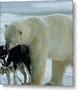 A Polar Bear Ursus Maritimus Snuggles Metal Print