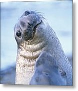 A Portrait Of A Northern Elephant Seal Metal Print by Rich Reid