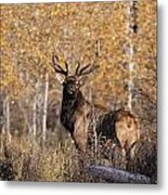 A Rutting Bull Elk, Or Wapiti, Stands Metal Print by Medford Taylor