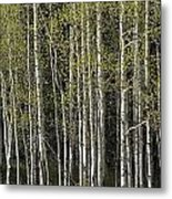 A Stand Of Aspen Trees At Wolf Creek Metal Print by Rich Reid