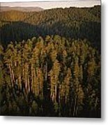 Afternoon Sunlight Bathes Redwood Trees Metal Print