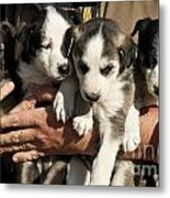 Alaskan Huskey Puppies Metal Print by John Greim