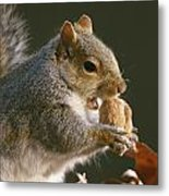 An Eastern Gray Squirrel Sciurus Metal Print