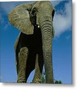 An Elephant At The Pittsburgh Zoo. This Metal Print by Michael Nichols