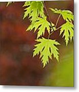 Backlit Maple Leaves On A Branch Metal Print by Greg Dale