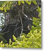 Bear In A Tree Metal Print