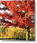 Beautiful Red Maple Tree  Metal Print