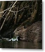Beaver Building A Dam, Ozark Mountains Metal Print by Randy Olson