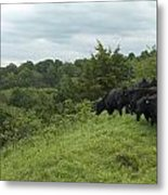 Black Angus Cattle Metal Print by Justin Guariglia