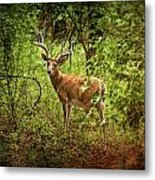 Buck In Full Velvet Metal Print
