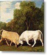 Bulls Fighting Metal Print