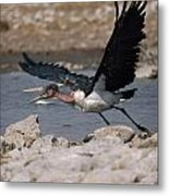 Catch-as-catch Can Is Etoshas Metal Print