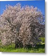 Cherry Blossoms Erupt In Spring Amongst Metal Print by Jason Edwards