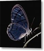 Close-up Of A Glassy-wing Butterfly Metal Print