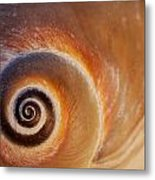 Close Up Of A Moon Snail Shell Showing Metal Print