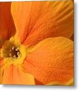 Close Up Of An Orange Primrose Flower Metal Print