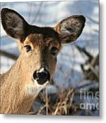 Close Up Of Deer In A Snowy Wooded Setting Metal Print by Christopher Purcell