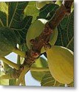 Close-up Of Two Large Figs Hanging Metal Print