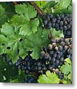 Close View Of Red Grapes On The Vine Metal Print