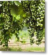 Clusters Of Grapes On The Vine At Fall Metal Print
