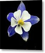Colorado Columbine Metal Print by Darryl Gallegos