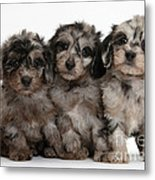 Daxiedoodle Poodle X Dachshund Puppies Metal Print by Mark Taylor