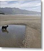 Dog Playing On Sandy Beach In Water Metal Print by Keenpress