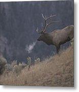 Elk Or Wapiti Bull On A Hillside Metal Print by Raymond Gehman