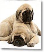 English Mastiff Puppies Metal Print