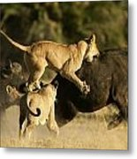 Female African Lions Pounce On An Metal Print by Beverly Joubert
