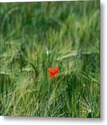 Field Of Wheat With A Solitary Poppy. Metal Print