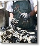 Fisherman Separating Clumps Of Oysters Metal Print