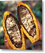 Fungal Infection Of Cacao Metal Print by Science Source