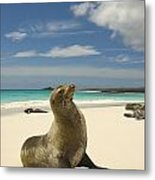 Galapagos Sea Lions Resting On A White Metal Print by Annie Griffiths
