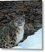 Gaze Of The Snow Leopard Metal Print